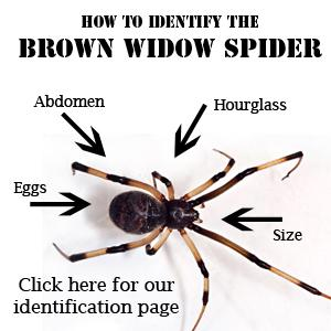 brown widow identification
